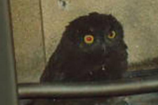 Mystical owl