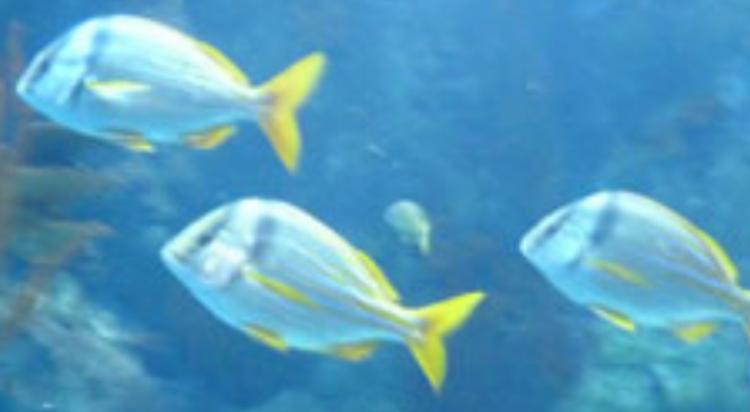 Teamwork among fish