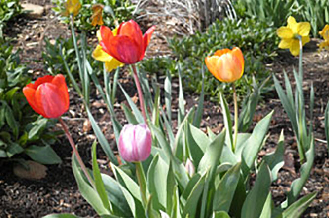 Terrific tulips