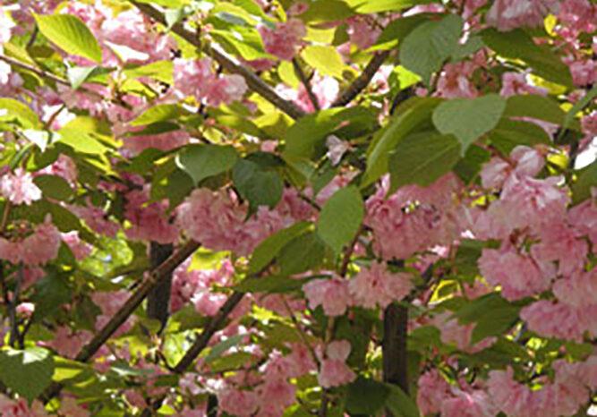 Abundance of pink
