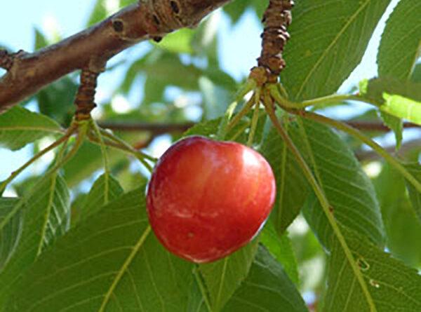 Cherished cherries