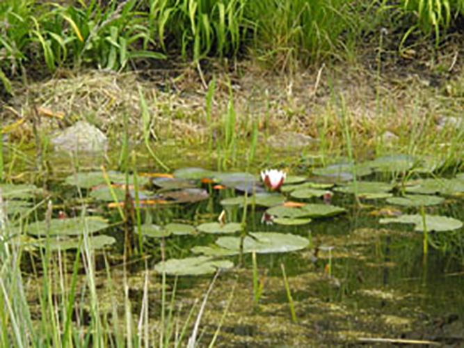 0723waterlilies