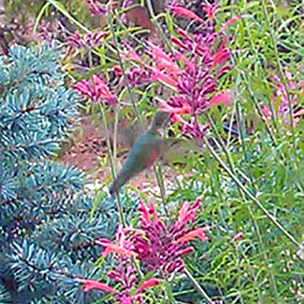 0918hummingbird