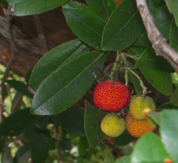 0926treeberry