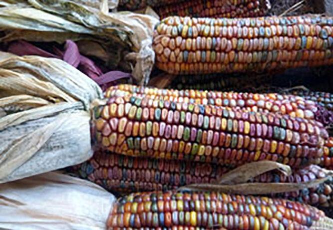 Corn of plenty