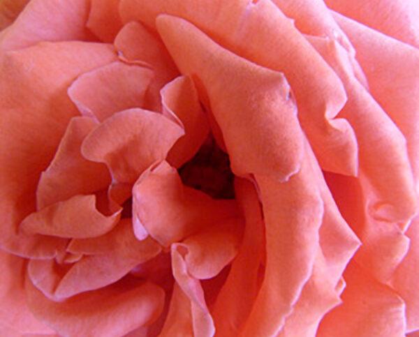 Gratitude red rose