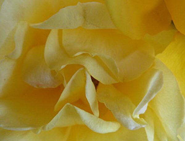 Splendor of a rose