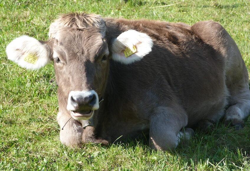 Gratitude for cows