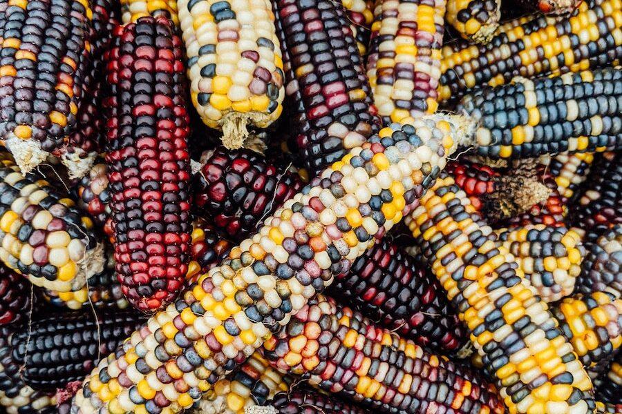 Corn is abundant